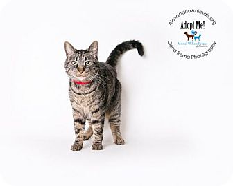 Domestic Shorthair Cat for adoption in Alexandria, Virginia - Robin Hood