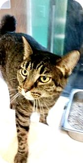 Domestic Shorthair Cat for adoption in Fort Smith, Arkansas - T.J.