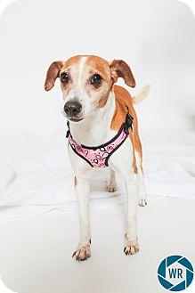 Terrier (Unknown Type, Small) Mix Dog for adoption in Jupiter, Florida - Speedy