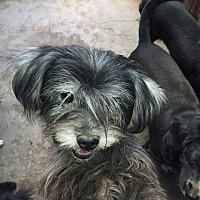 Adopt A Pet :: Misty - Oakton, VA