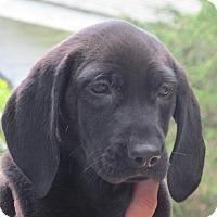 Adopt A Pet :: Lacy - Ball Ground, GA