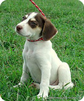 Australian Shepherd/Labrador Retriever Mix Puppy for adoption in Waterbury, Connecticut - Clover~Adopted