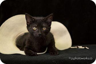 Domestic Shorthair Kitten for adoption in Ottawa, Ontario - Spud