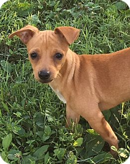 Chihuahua/Dachshund Mix Puppy for adoption in Pennigton, New Jersey - Odie