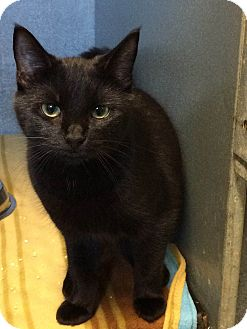 Domestic Shorthair Kitten for adoption in West Warwick, Rhode Island - Greta