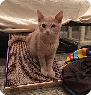 Domestic Shorthair Kitten for adoption in Lombard, Illinois - Quade