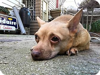 Chihuahua Mix Dog for adoption in Chicago, Illinois - Albert