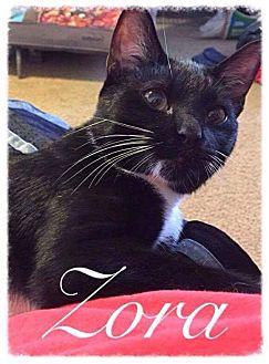 Domestic Shorthair Kitten for adoption in Garner, North Carolina - Zora
