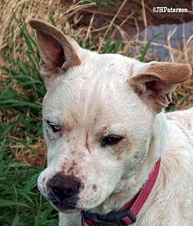 Cattle Dog Mix Dog for adoption in Scottsdale, Arizona - Louie