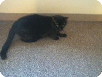 Domestic Shorthair Cat for adoption in Acushnet, Massachusetts - Pouhatan