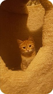 Domestic Mediumhair Kitten for adoption in Clearwater, Florida - Peanut & Coco