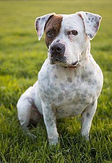 American Bulldog/Pointer Mix Dog for adoption in Berkeley, California - Peter Pan **URGENT**
