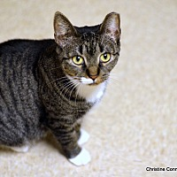 Domestic Shorthair Cat for adoption in Island Park, New York - Darla