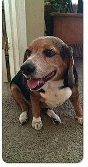 Beagle Dog for adoption in Tampa, Florida - Reggie