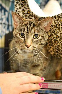 Domestic Shorthair Cat for adoption in Johnson City, Tennessee - Natasha