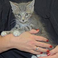 Adopt A Pet :: Norris - Joplin, MO
