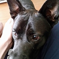 Adopt A Pet :: Grimm - Texas - Fulton, MO