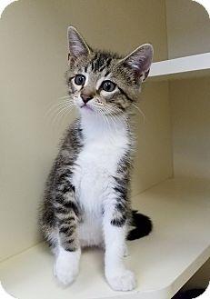 Domestic Shorthair Kitten for adoption in Elyria, Ohio - Heath