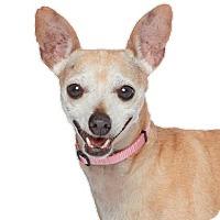 Adopt A Pet :: AMBER - Los Angeles, CA