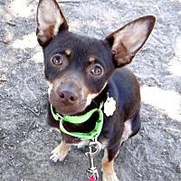 Adopt A Pet :: Boots - Seal Beach, CA