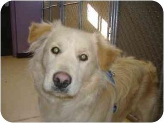 Golden Retriever/Retriever (Unknown Type) Mix Dog for adoption in New Boston, New Hampshire - Ruffy