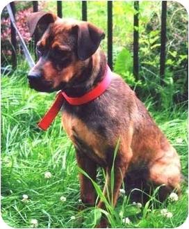 Bloodhound/German Shepherd Dog Mix Puppy for adoption in Baldwin, New York - Fraazer