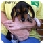 Photo 2 - Beagle Mix Puppy for adoption in Slidell, Louisiana - TAFFY