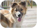 Australian Shepherd/Collie Mix Dog for adoption in Plainfield, Illinois - Chassie