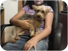 Yorkie, Yorkshire Terrier Dog for adoption in Orange, California - Louis #2