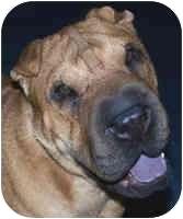 Shar Pei Dog for adoption in Genoa, Ohio - Jesse - Pending