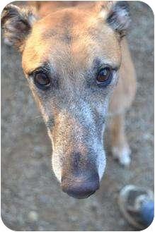 Greyhound Dog for adoption in Chagrin Falls, Ohio - Buck (HS Buck)