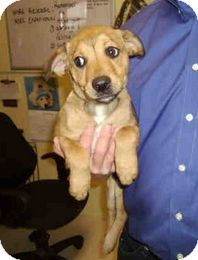 Labrador Retriever Mix Puppy for adoption in Yuba City, California - 12/14 Unnamed