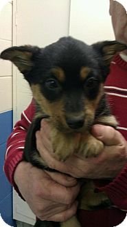 Australian Shepherd Mix Puppy for adoption in Whiting, Indiana - Sage