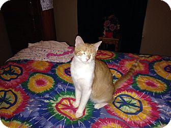 Domestic Shorthair Cat for adoption in Franklin, Indiana - Babino