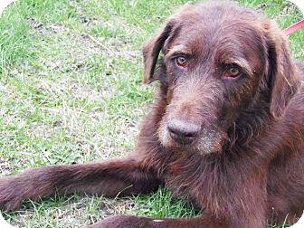 Irish Wolfhound Mix Dog for adoption in Minneapolis, Minnesota - Lupin