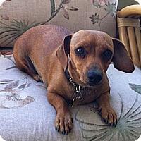 Adopt A Pet :: Brie - San Jose, CA