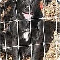Adopt A Pet :: Bishop -Small Lab Mix - New Boston, NH