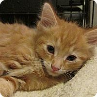 Adopt A Pet :: Meow Dew - Acme, PA