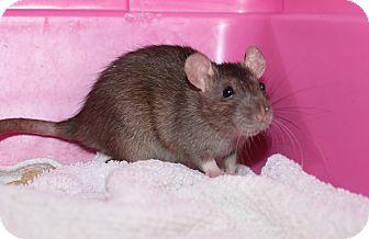 Rat for adoption in Austin, Texas - Acorn