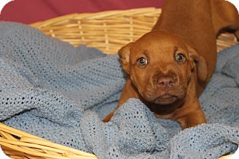 Labrador Retriever Mix Puppy for adoption in Waldorf, Maryland - Tiara