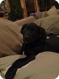 Labrador Retriever/Catahoula Leopard Dog Mix Dog for adoption in Arlington Heights, Illinois - Baxter