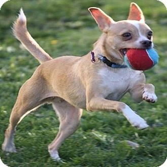 Chihuahua/Italian Greyhound Mix Dog for adoption in Portland, Oregon - Rosie Simone