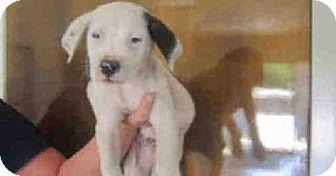 American Bulldog Mix Puppy for adoption in Newnan City, Georgia - Sparky