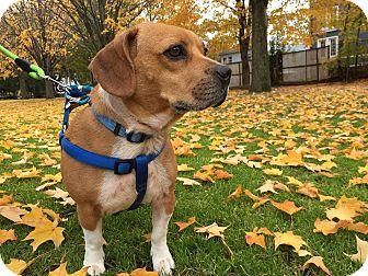 Beagle/Pug Mix Dog for adoption in Boston, Massachusetts - Chopper