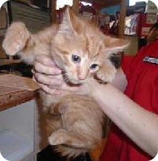 Domestic Mediumhair Kitten for adoption in THORNHILL, Ontario - Skipper