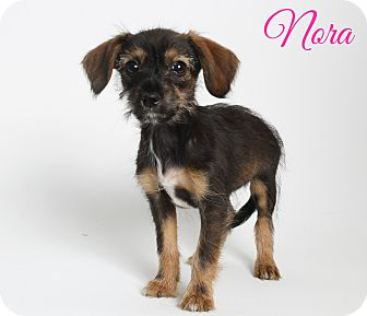 Schnauzer (Miniature)/Chihuahua Mix Dog for adoption in Metairie, Louisiana - Nora