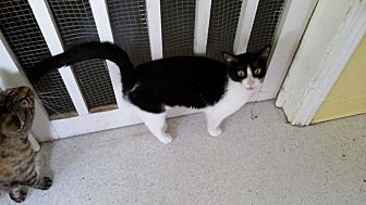 Domestic Shorthair Cat for adoption in Port Clinton, Ohio - Rachel