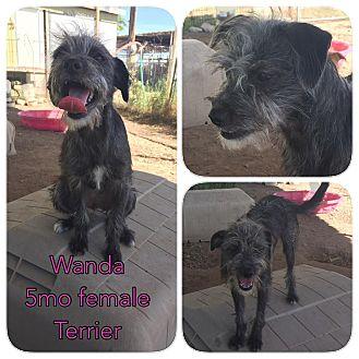 Terrier (Unknown Type, Medium) Mix Puppy for adoption in DeForest, Wisconsin - Wanda