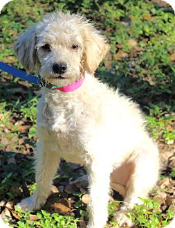Poodle (Miniature)/Terrier (Unknown Type, Small) Mix Puppy for adoption in Monroeville, Pennsylvania - HAILEY