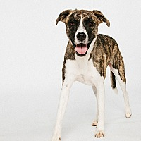 Adopt A Pet :: Molly - Houston, TX